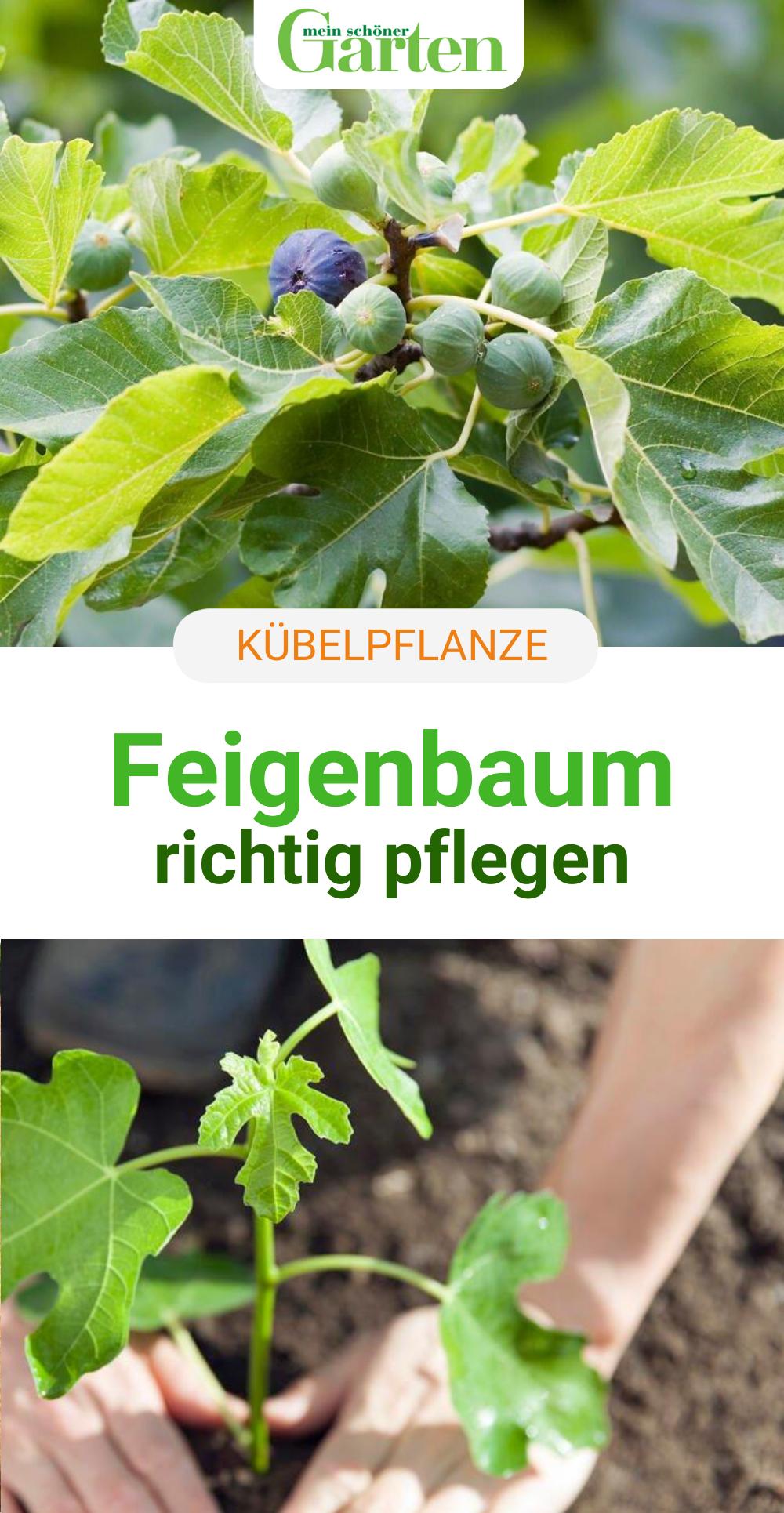 Feigenbaum Pflegen Die 3 Grossten Fehler Garten Bepflanzen Garten Anpflanzen Pflanzen
