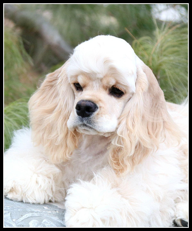 Pearl Cocker spaniel puppies, Spaniel puppies, American