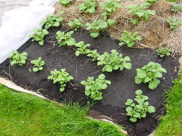 pommes de terre sous carton paillis et compost garden ideas pinterest compost. Black Bedroom Furniture Sets. Home Design Ideas