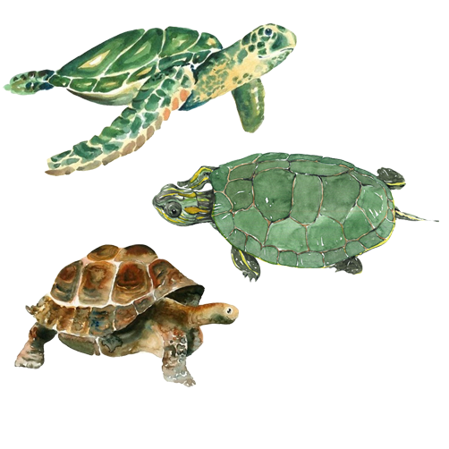 Turtle Watercolor Painting Drawing Turtle Png Image And Clipart Turtle Watercolor Turtle Painting Drawing