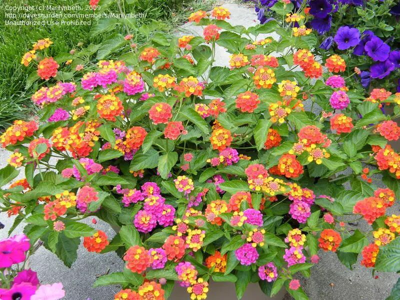 Lantana Hearty Dont Need A Ton Of Water Or Dead Heading Supposed To Get Pretty Full Good For Flower Boxes Lantana Lantana Plant Plants