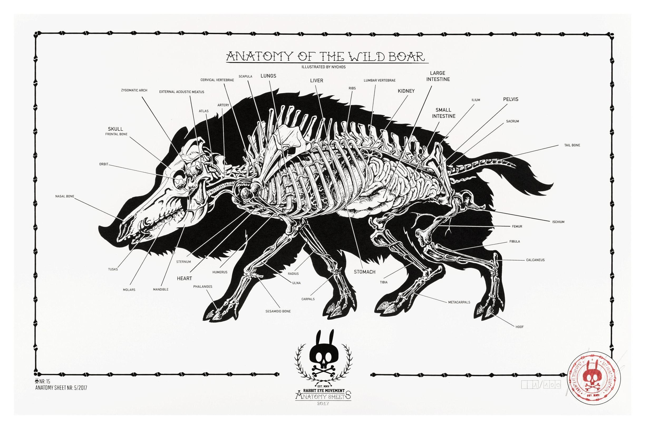 Anatomy of the wild boar: anatomy sheet no.15 in 2020