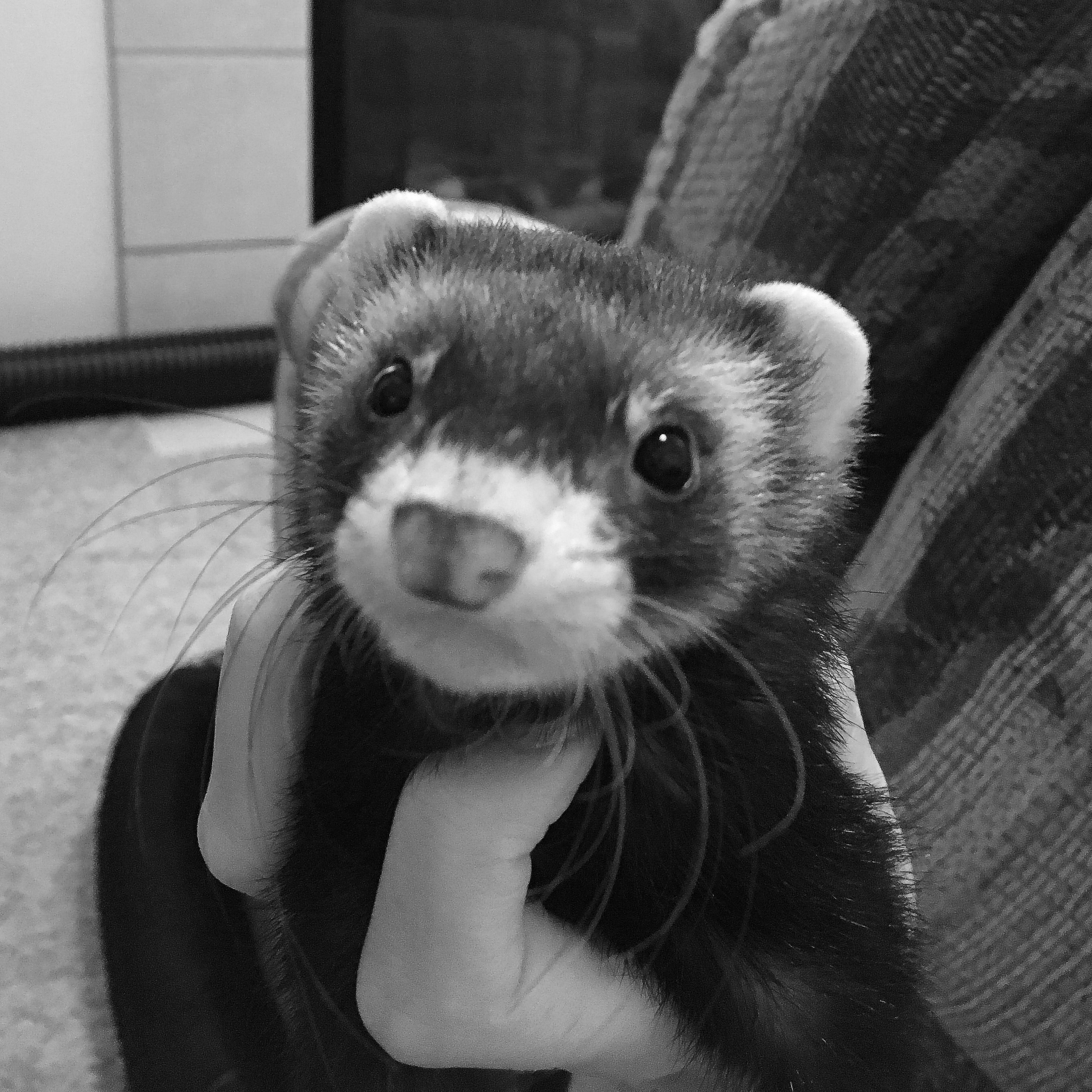 Febe the ferret