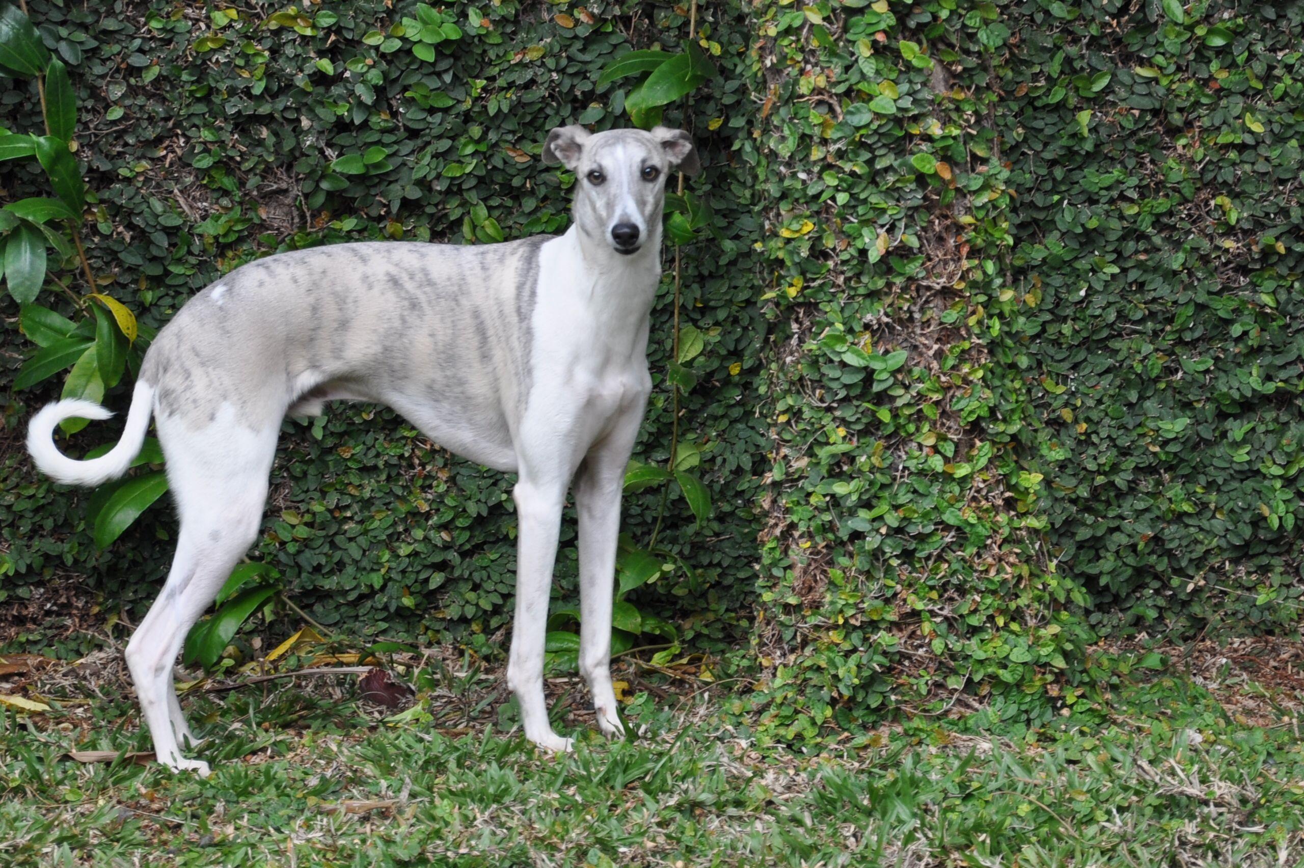 Whippet Puppies For Sale Houston
