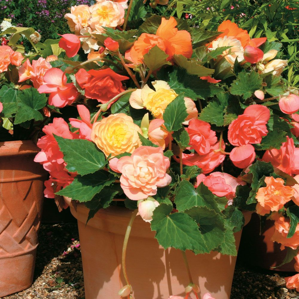 Begonia Scentsation Mixed Annual Plants Thompson Morgan Annual Plants Flower Seeds Begonia
