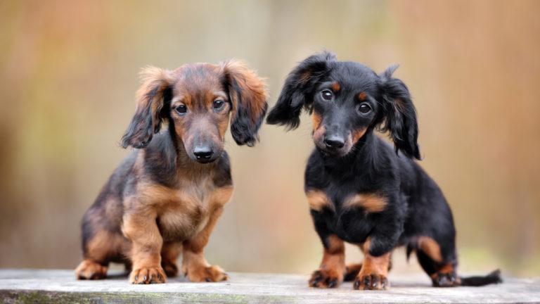 Mayrakoira Koirarotuja Zooplus Tietonurkka In 2020 Dog Allergies Dachshund Puppies Dog Breeds