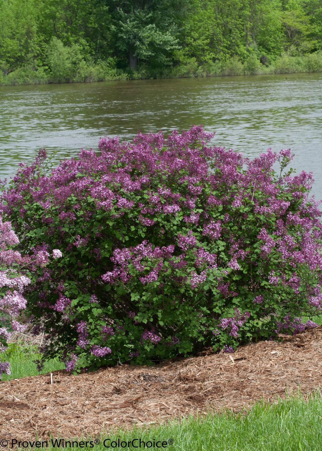 Bloomerang Dark Purple Reblooming Lilac Syringa X Plants Lilac Bushes Syringa