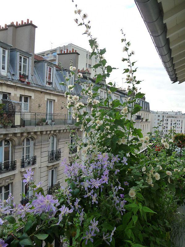 Clématite 'Blue River' et Alcathea suffrutescens 'Park Allée' sur mon balcon en été, Paris 19e (75)