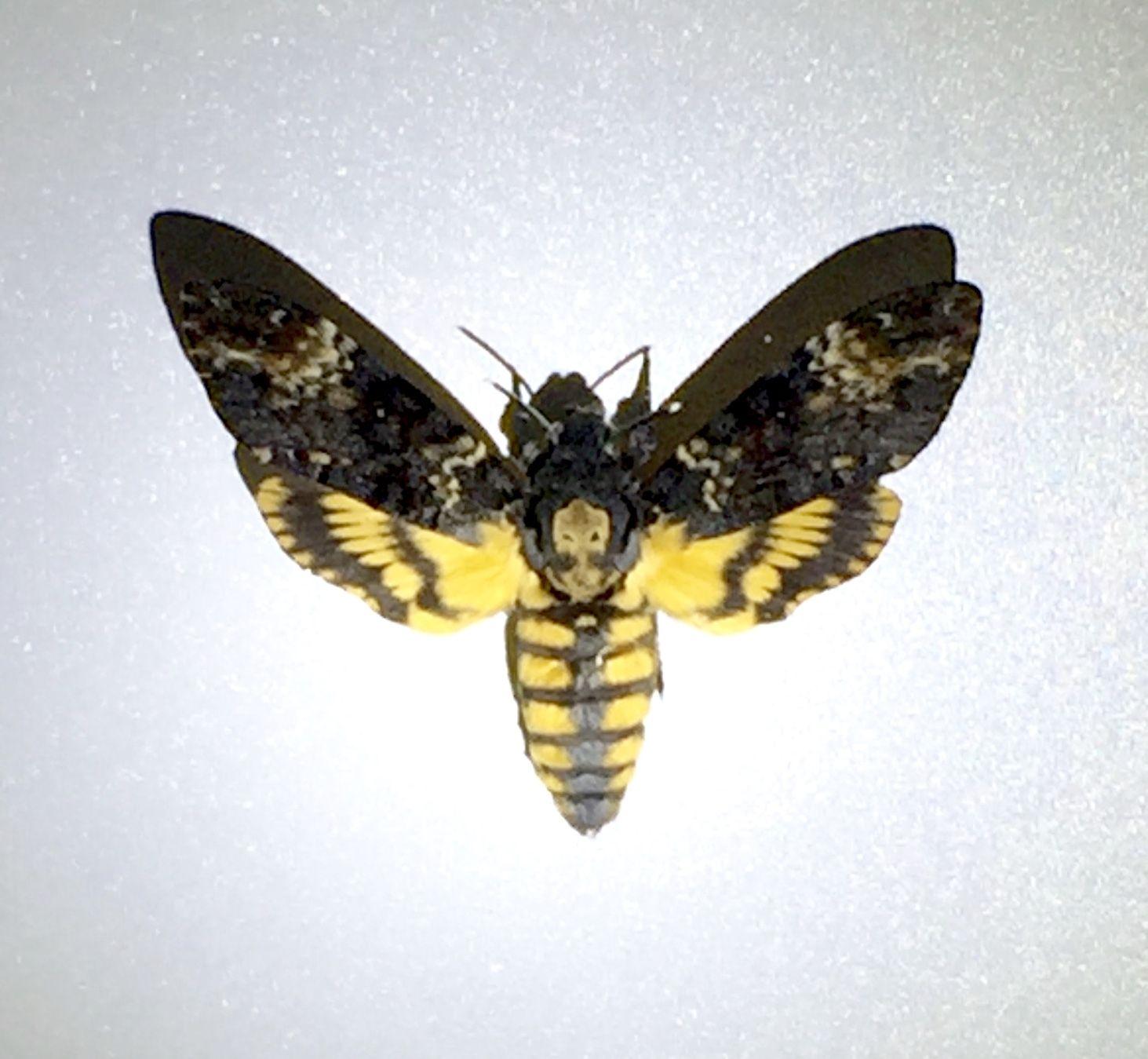 Totenkopfschwarmer Hirschkafer Schmetterling Flughund