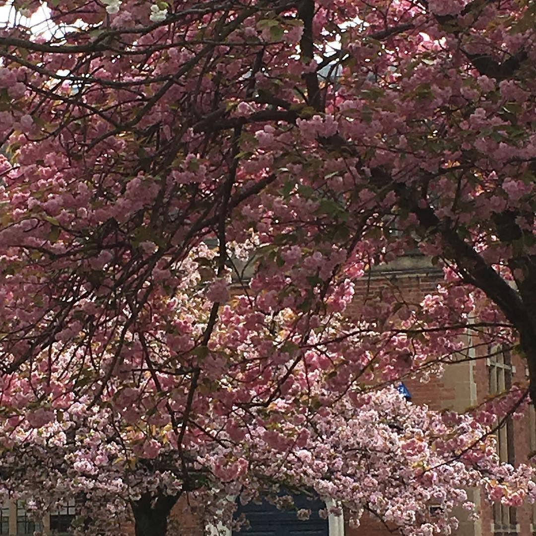 Stunning Cherry Trees In The Graveyard At St Nick S Nottingham Urbangarden Gardenersworld Flowerstagram Pink Pink Urban Garden Cherry Tree Pretty Flowers