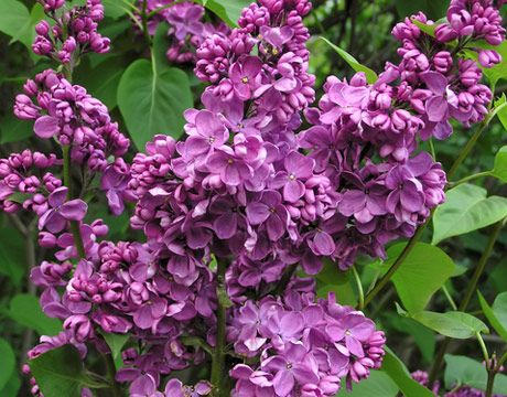 Looking forward to the lilacs coming out