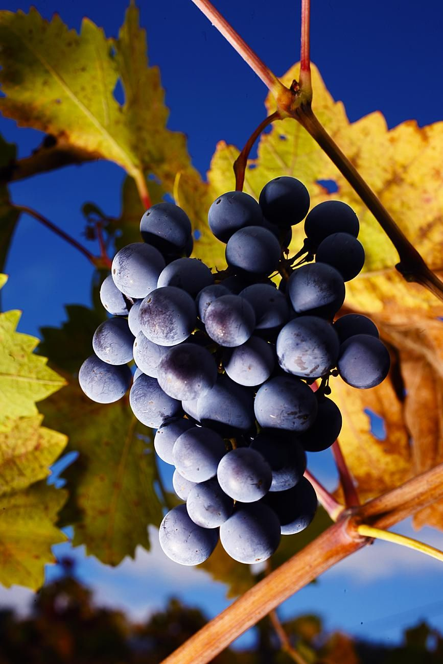 Other cultures love to grow grapes and savor their byproducts. Photo- L. Hamill