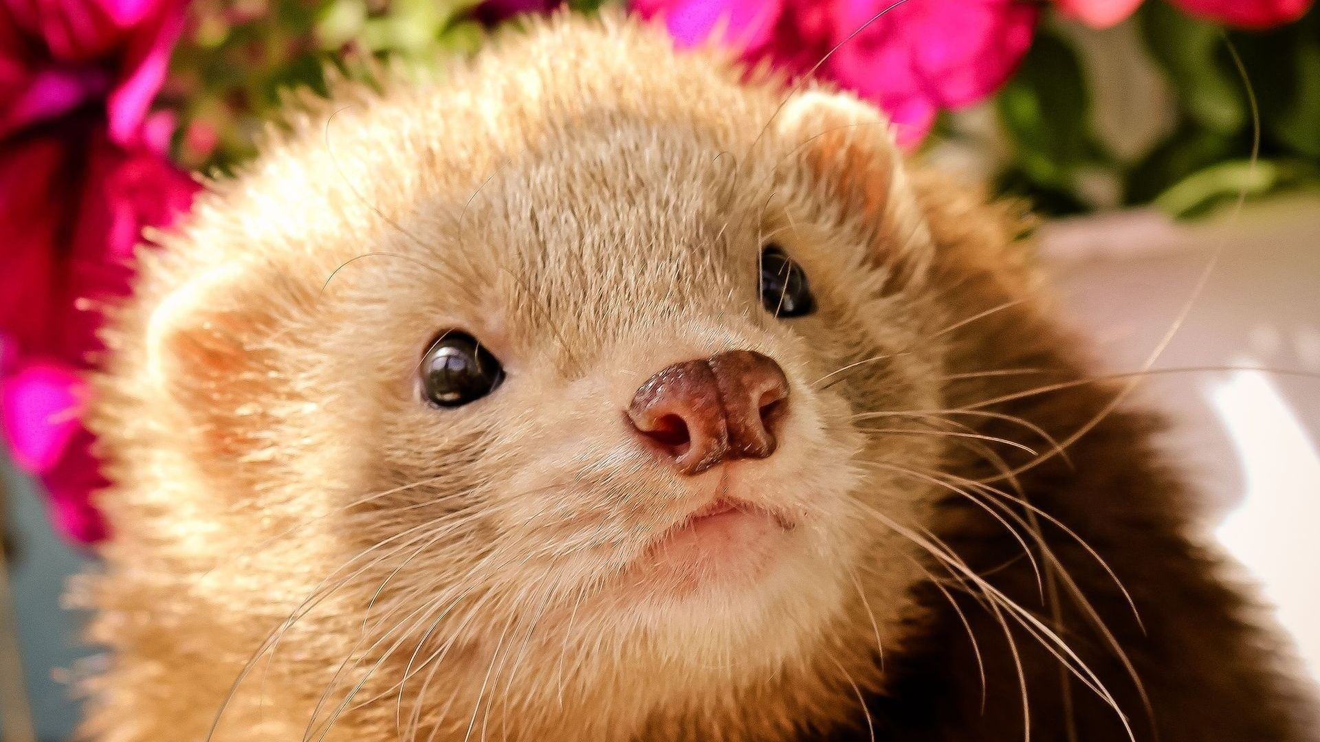 Download Wallpaper 1920x1080 Ferret Face Eyes Animal Full Hd 1080p Hd Background Animals Cute Animals Animals Are Beautiful People