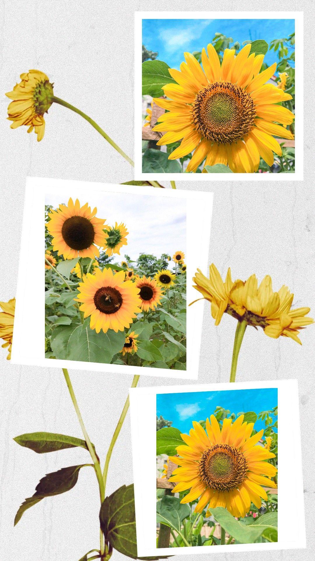 Bunga Matahari Poster Bunga Wallpaper Bunga Matahari Seni Bunga