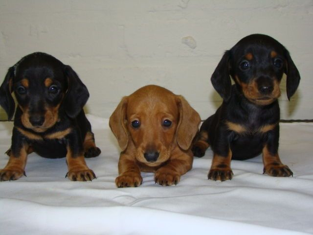 Newborn Miniature Dachshund Puppies Miniature Dachshund