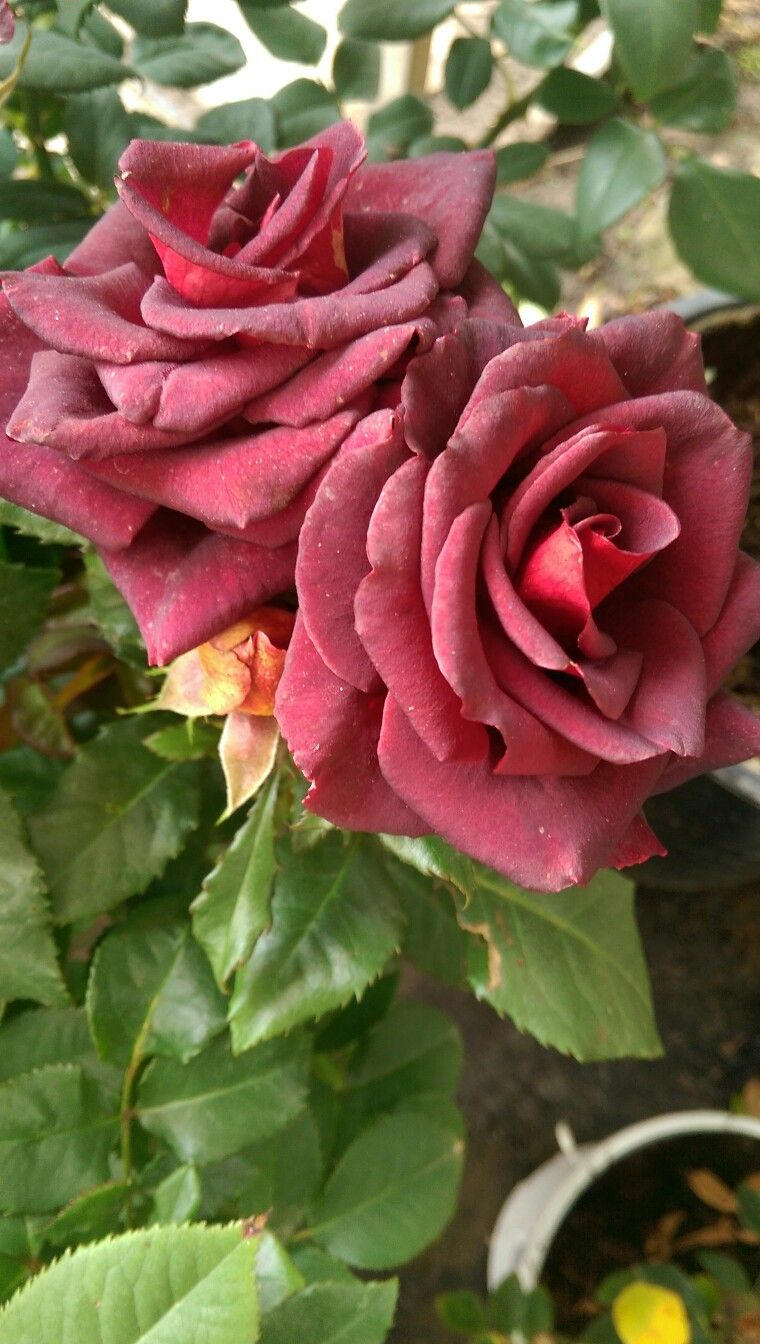 Ilove Flowers Adli Kullanicinin Rosas Y Flores La Bonita Panosundaki Pin Pembe Gul Guller Bahce