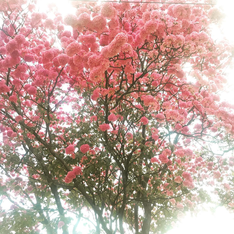The Tabebuias Are In Bloom On My Road Tabebuia Tabebuiarosea Tabebuiatree Treehugger Pink Treesofinstagram Tr Tree Photography Bloom Tree Hugger