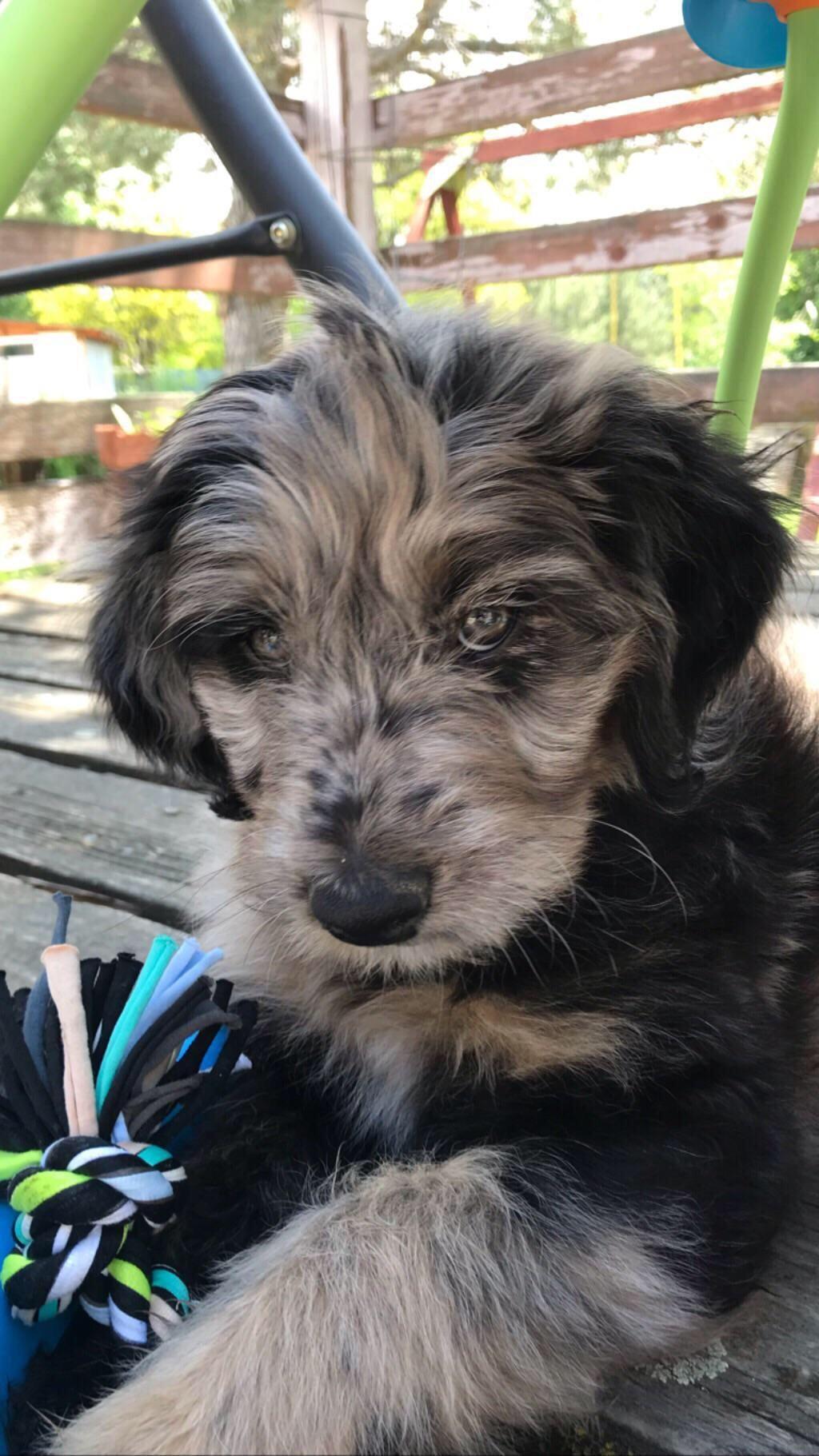 This is Twister who's 8 weeks old ) australianshepherd
