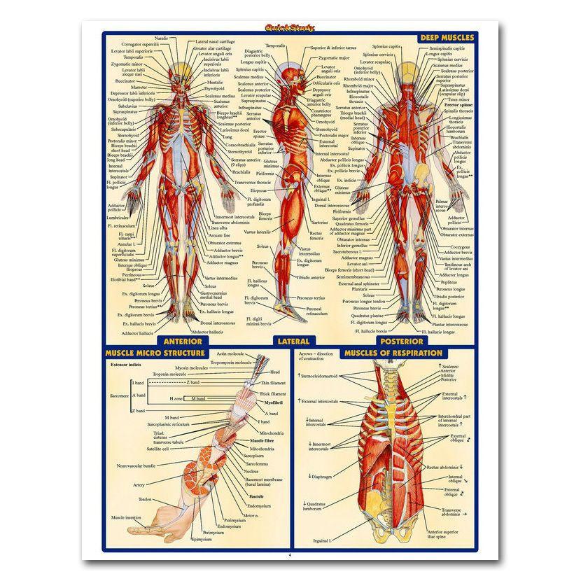 499 Human Anatomy Deep Muscles Map Silk Poster 13x18 24x32 Inch