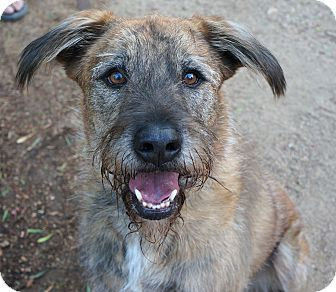 Beverly Hills, CA Irish Wolfhound/Airedale Terrier Mix