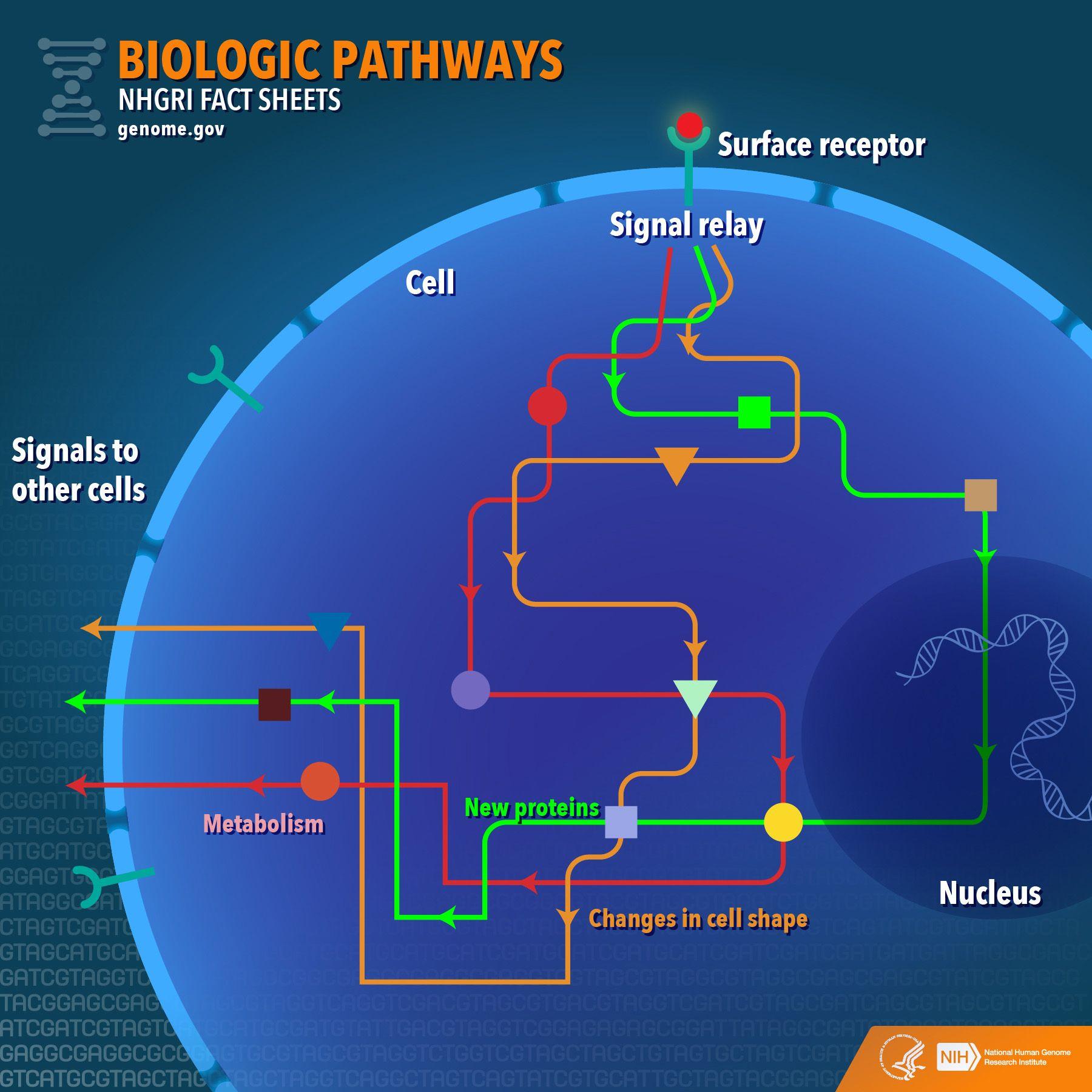Biological Pathways Fact Sheet Nhgri Fact Sheet Pathways Science Biology