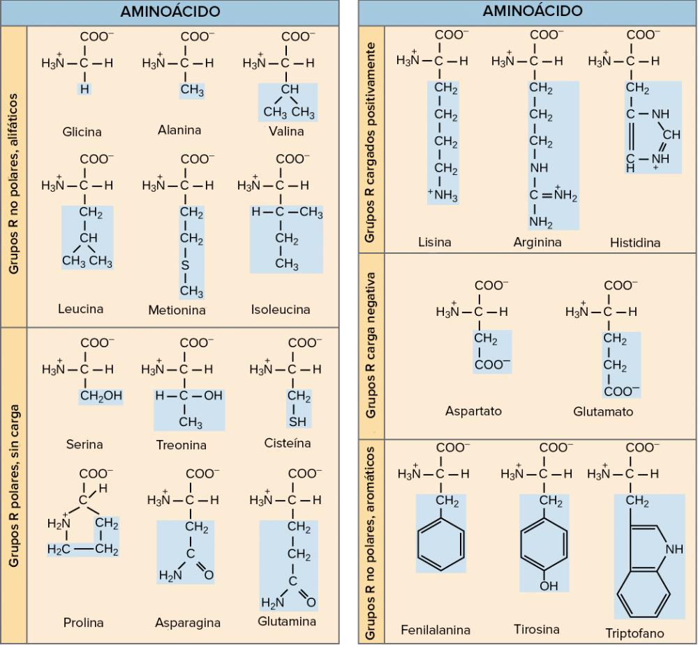 Introducción A Las Proteínas Y Los Aminoácidos Artículo Khan Academy Aminoacido Khan Academy Enlace Peptídico