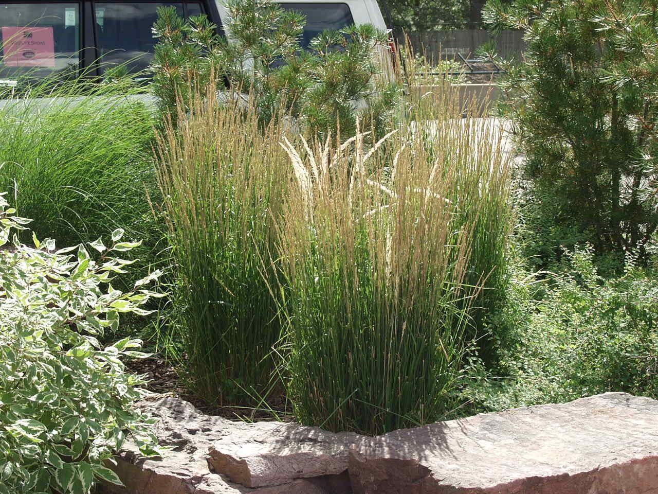 Overdam Feather Reed Grass C Photo Arbortanics Inc Feather