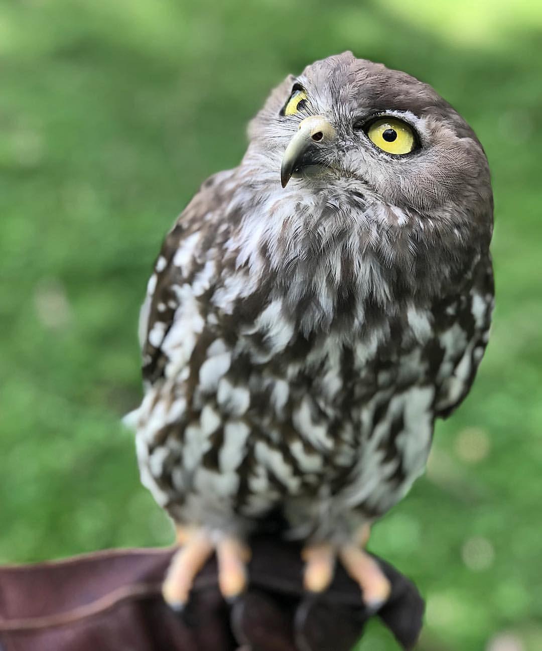 1 142 Likes 13 Comments A Bird With Beliefs Tbonesjones On Instagram Barking Owl Owls Drawing Baby Owls Owl Art