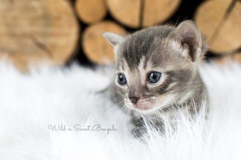 Blue Bengal Cats Kittens For Sale Bengal Kitten Bengal Cat