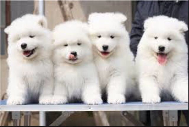 I Love My Beagle But Looook Samoyed S 3 Samoyed Puppy