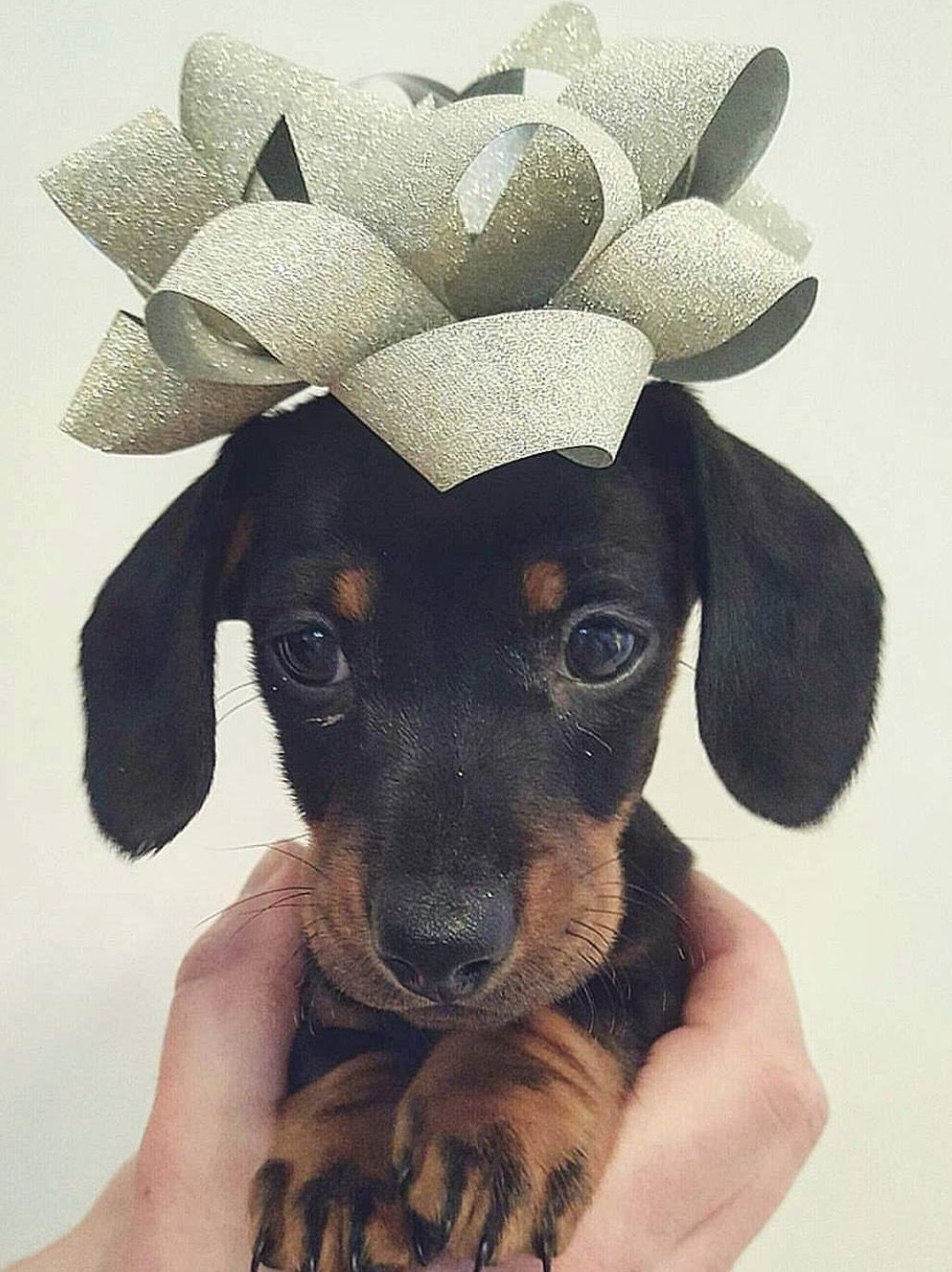 Pin by Kerry Strickland on KerryThe Love of Daschunds