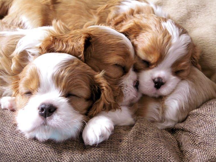 Blenheim Welpen Aus Liebevoller Hobbyzucht Bad Munstereifel Cavalier King Charles Spaniel Welpen Hunde Welpen Kuscheltier Hund
