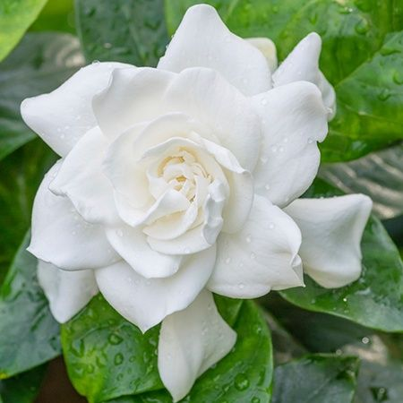Symbolic meanings of flowers that youve been wanting to know white gardenia flower meaning mightylinksfo