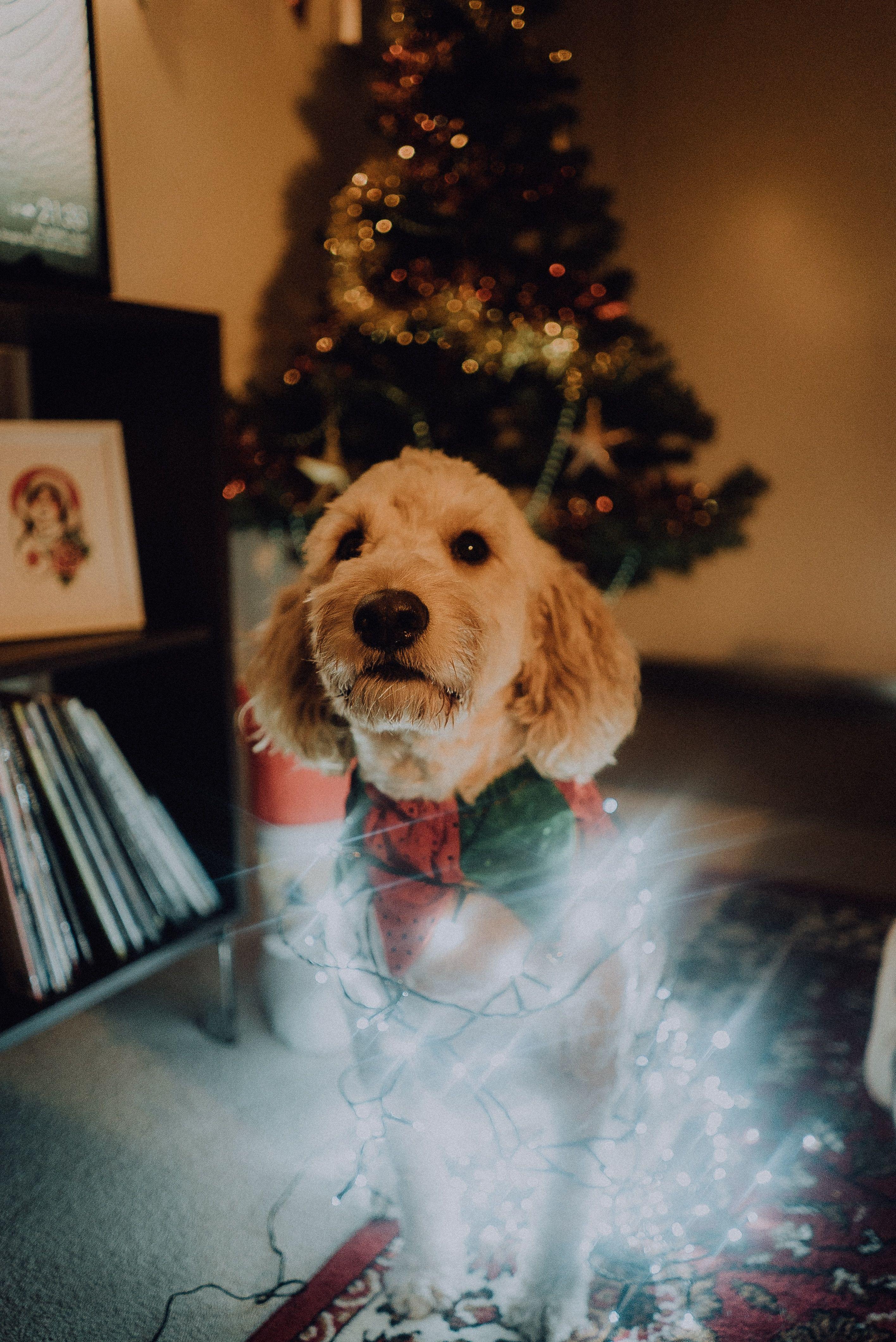 Melbourne Australia Sony Ilce 7s C1c4cf Christmas Dog Dog