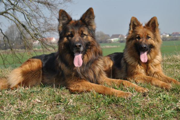 House Barrett Introduces Red Brown Long Haired German Shepherds