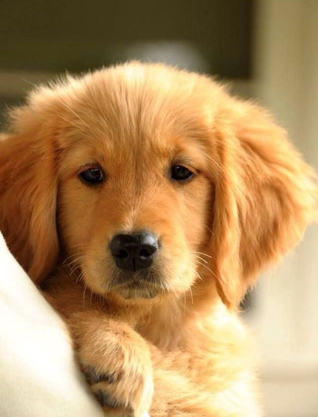 Pin By Dee Scott On House Inspiration Loyal Dog Breeds Golden Retriever Retriever Puppy