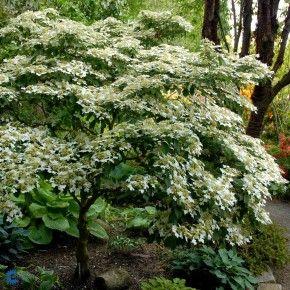 Japansk Snebolle Viburnum Plicatum Watanabe 30 50 Cm