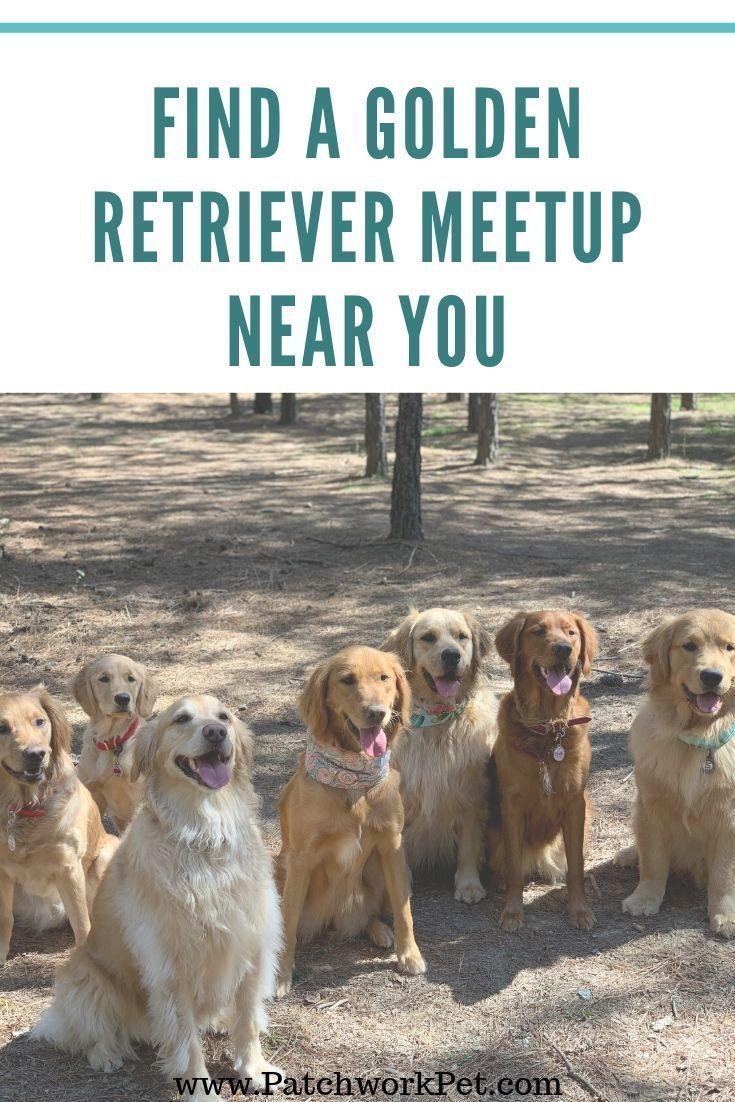 Golden Retriever MeetUp Groups Near You Golden