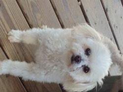 Adopt Princess Leia Pending On Poodle Mix Dogs Maltese Poodle