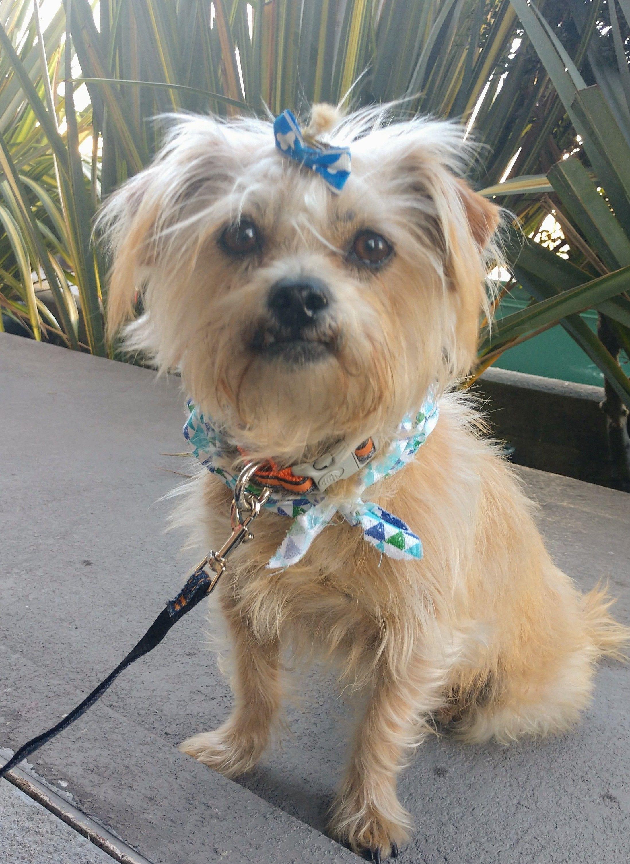 Adopt Bella on Yorkshire terrier, Yorkie yorkshire