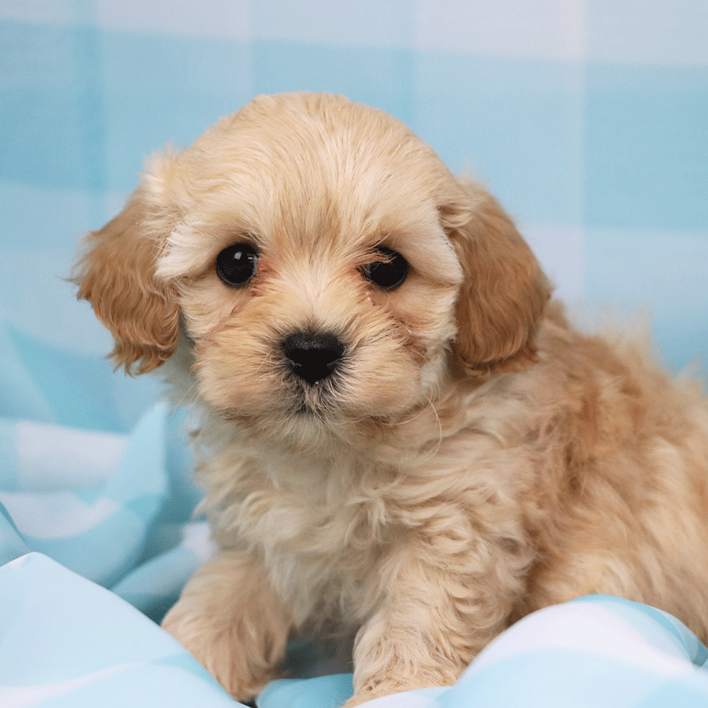 Litter Of Cavapoos Coming Your Way Soon Cavapoo Puppies Cavapoo Puppies For Sale Cute Dogs And Puppies