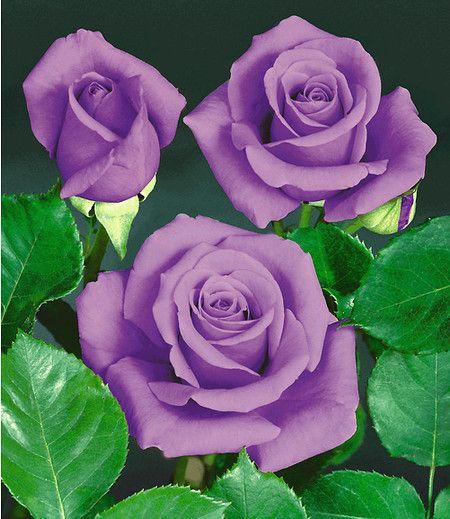 rose blue saphir 1 pflanze ideen f r meinen garten. Black Bedroom Furniture Sets. Home Design Ideas
