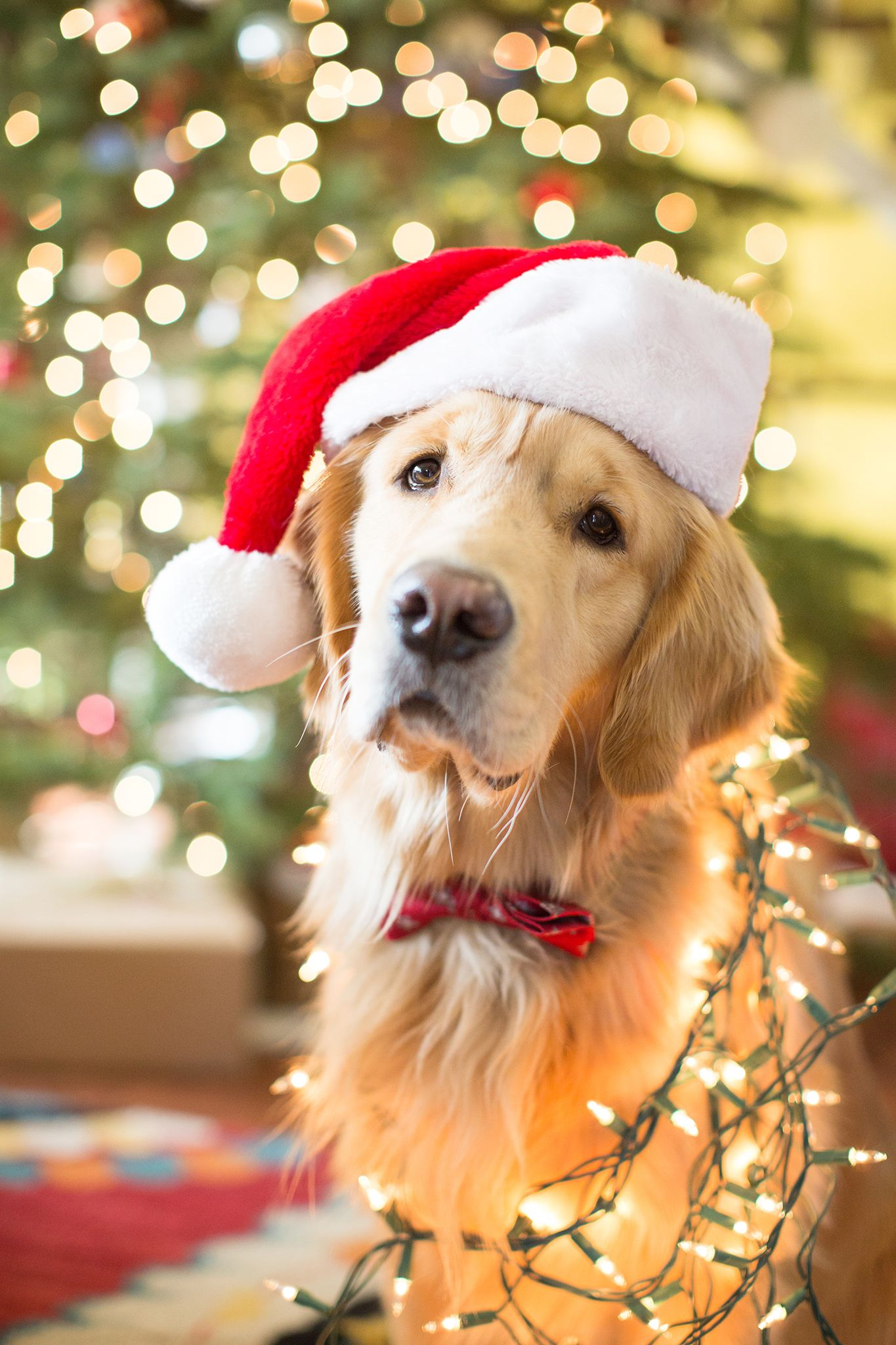 Golden Retriever Christmas Golden Retriever Christmas Dog