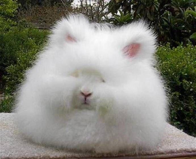 Самый пушистый кролик! (16 фото) | животный мир | Пушистый ...