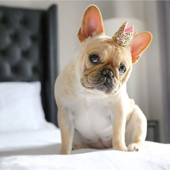 It S Not The Size Of Your Crown That Counts It S The Attitude In Which You Wear It Have A Happy Day Bulldog Cutest Dog Ever Happy Birthday French Bulldog