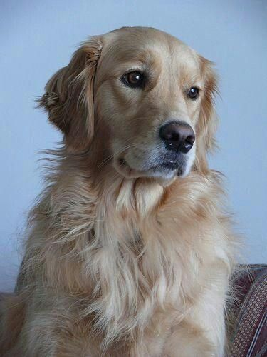 Doglife Obsessedwithmydog Crazydoglady Dogsarefamily Dogsarethebest Lifewithdogs Twodogsarebetterthano In 2020 Dogs Golden Retriever Golden Retriever Dog Training