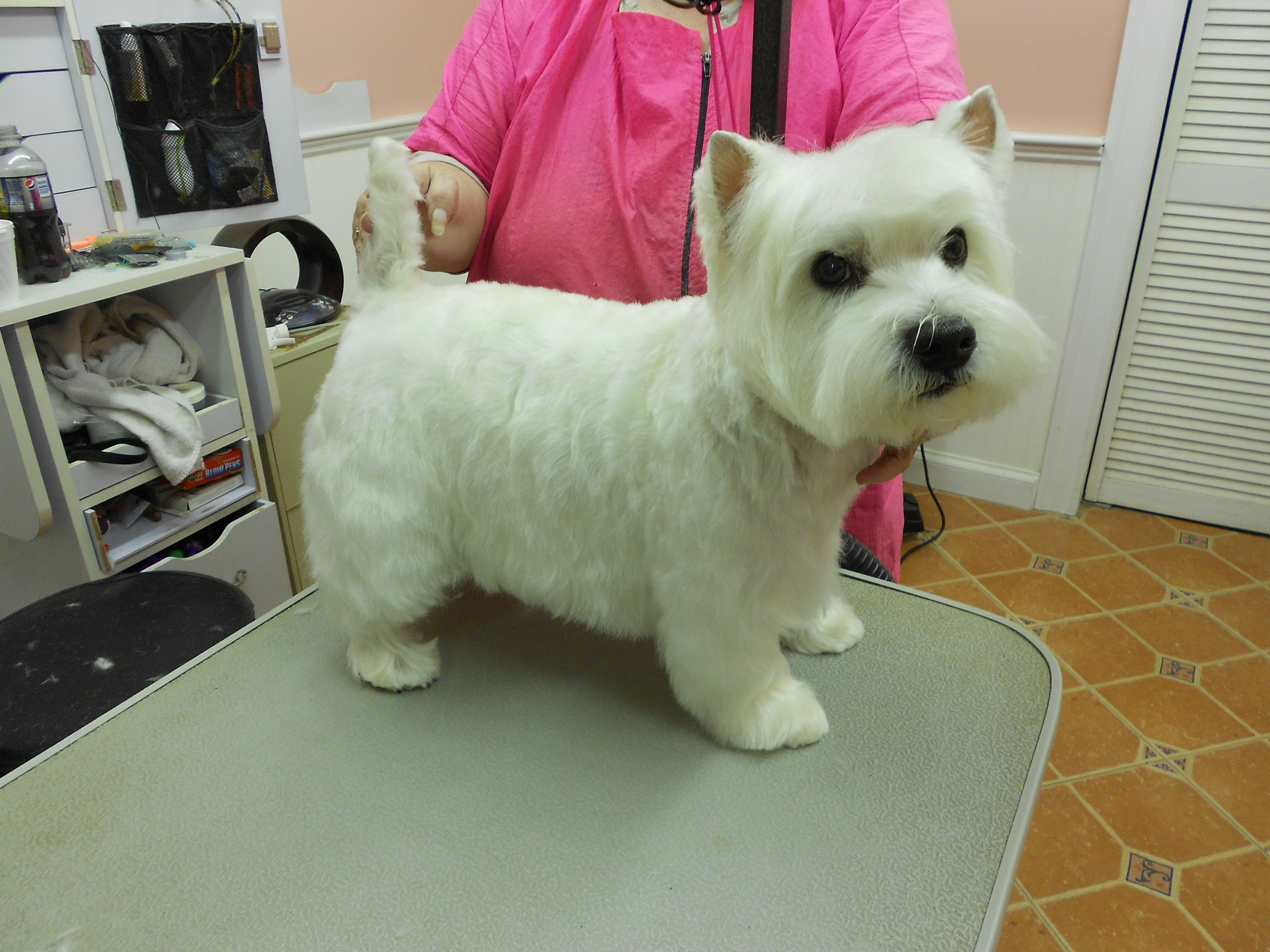 This Is A Westie That We Groomed By The Posh Poodle Spa Westie