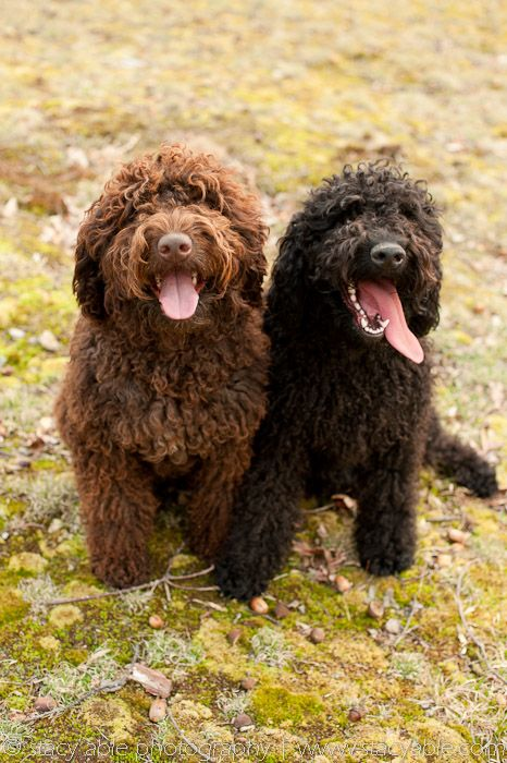 Barbet French Water Dog Doggies Water Dogs Pinterest Dogs