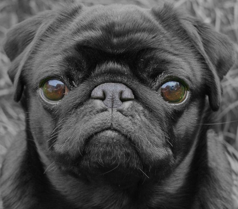 Baby Pug Dog Rate Black Pug Puppies Baby Pugs Baby Pug Dog