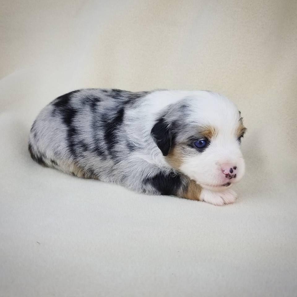 Aussalier Puppy Aussalier Aussie Cavalier Mix Mini Aussie Cavalier